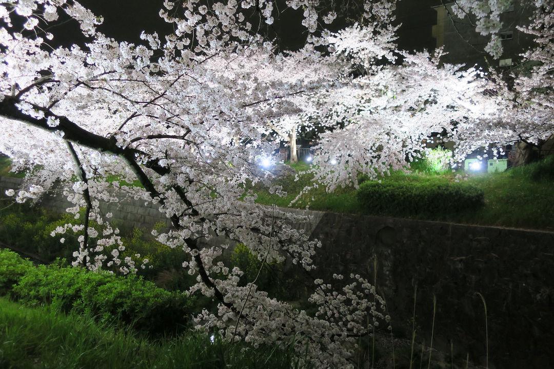 Image: 山崎川 桜並木ライトアップ 2016
